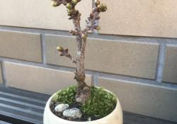 さくら盆栽1